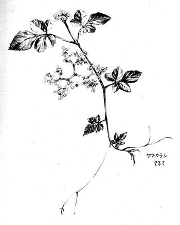 Yabukarasi2